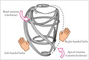 Myocardial fibre orientation